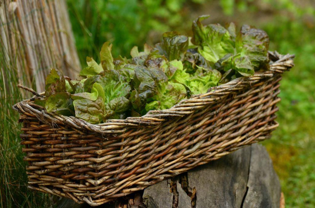 plantation de salade en jardinière sur le balcon